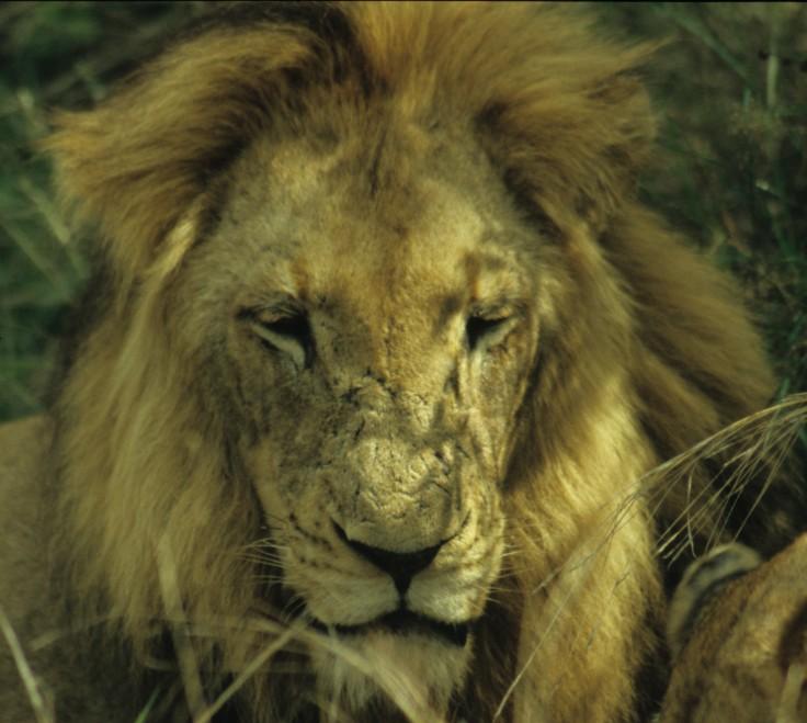 Lion in Kruger National Park South Africa ©2013 Nick Katin