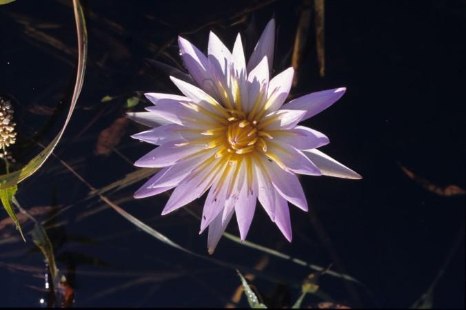 Lillie Pad flower in the Okavango Delta Botswana ©2013 Nick Katin