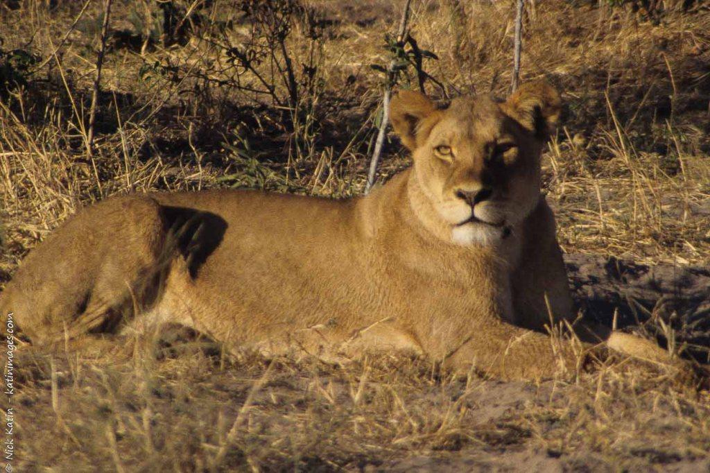 Lion in chobe NP, Botswana
