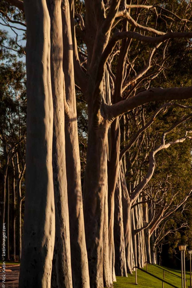 Eucalyptus Trees in King's Park Perth Western Australia