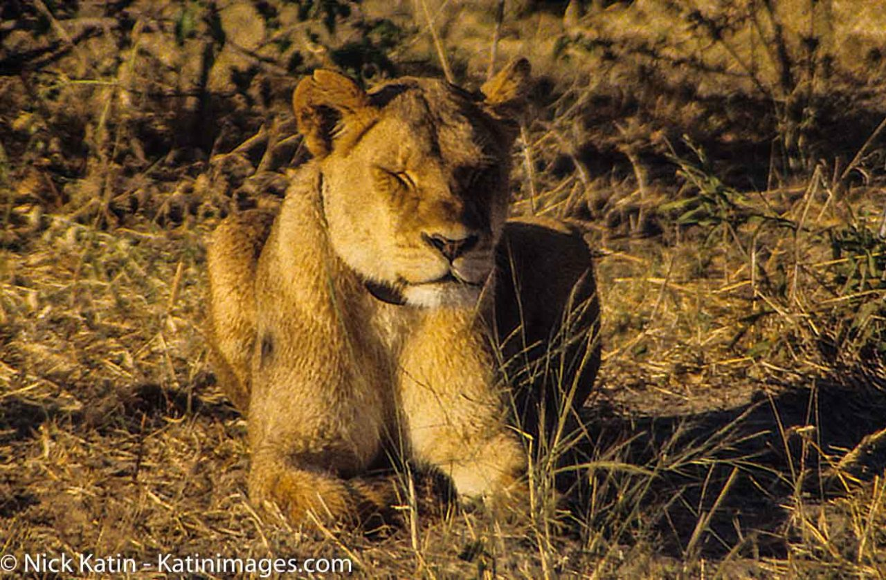 A lioness enjoys the late afternoon sun in Chobe National Park, Botswana