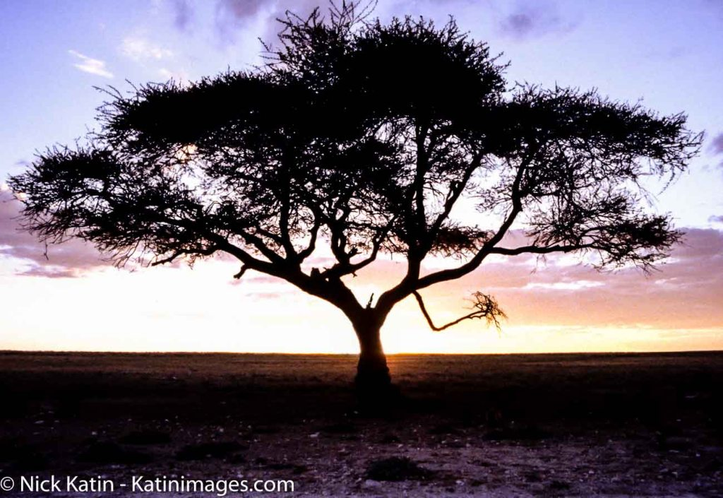 An Umbrella Thorn Acacia at sunset on the savannah of South Africa. It's a native to Africa.
