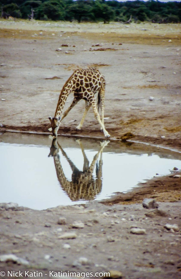 A giraffe takes time out to have a drink at a watehole in Etosha National Park in Namibia