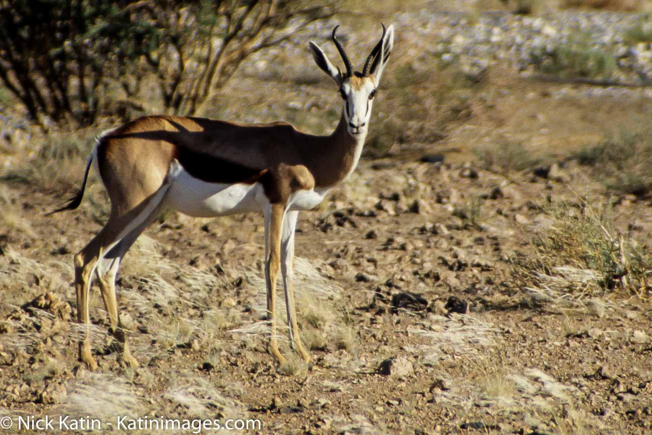 "Springboks are extremely fast and can reach speeds of 100 km/h and can leap 4m through the air. The common name ""springbok"" comes from the Afrikaans and Dutch words spring = jump and bok = male antelope or goat."