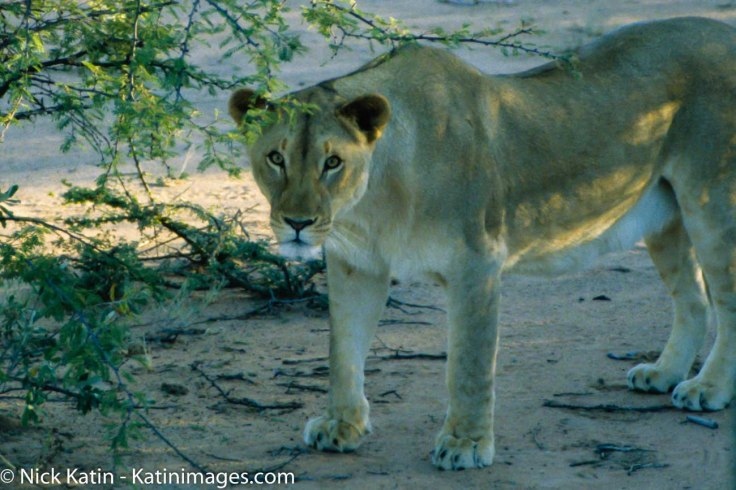 A lioness underneath bush peers at it's potential prey in Namibia