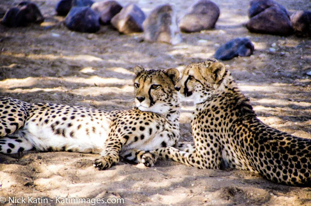 Two cheetahs watch pensively in the Cheetah Outreach Project in South Africa