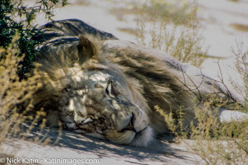 A lion sleeps in the shade of an acacia tree in the Kalahari national park on the border of South Africa and Botswana