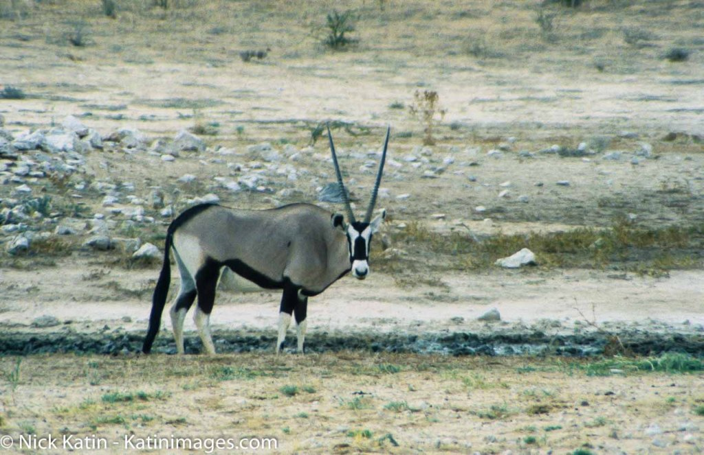 A Gemsbok in the Kalahari national park