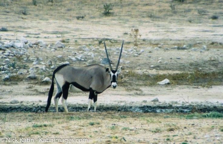 A Gemsbok in the Kalahari national park