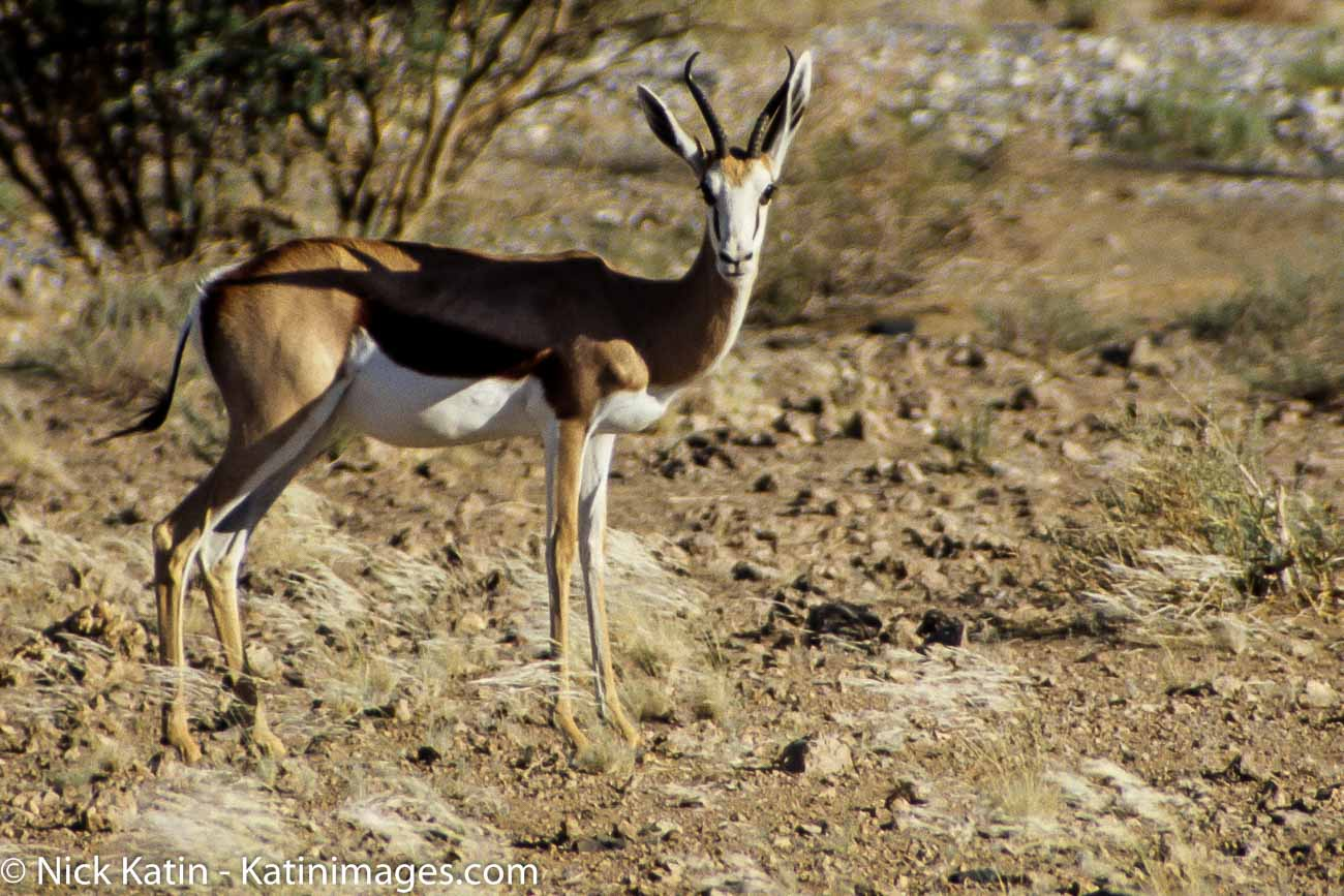 "It is extremely fast and can reach speeds of 100 km/h and can leap 4m through the air. The common name ""springbok"" comes from the Afrikaans and Dutch words spring = jump and bok = male antelope or goat."
