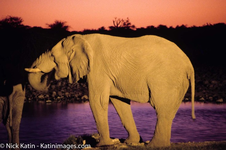 An elephant drinking at dusk at a camp waterhole in Etosha NP in Namibia