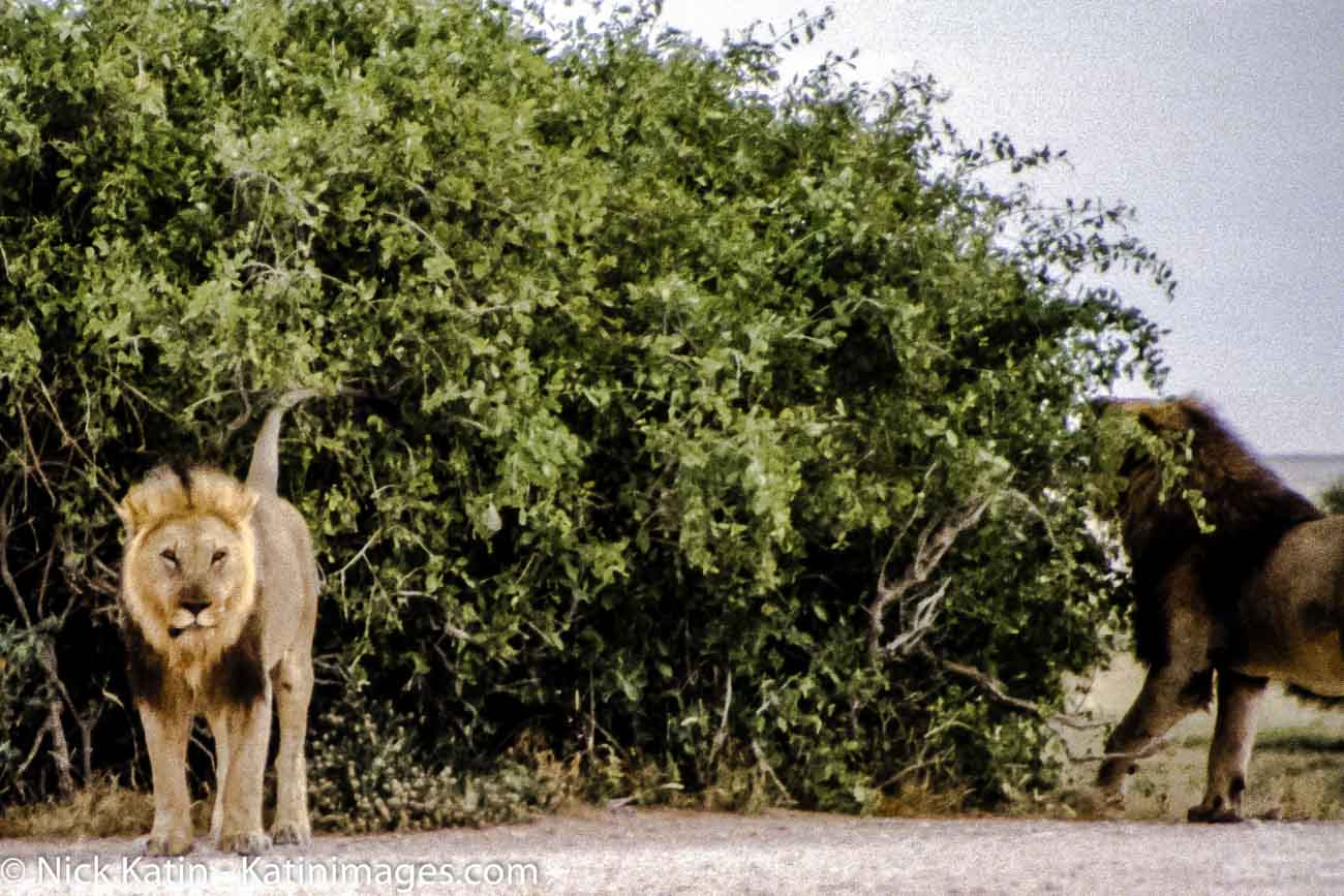 Two lions hanging out together at Etosha National park in Namibia