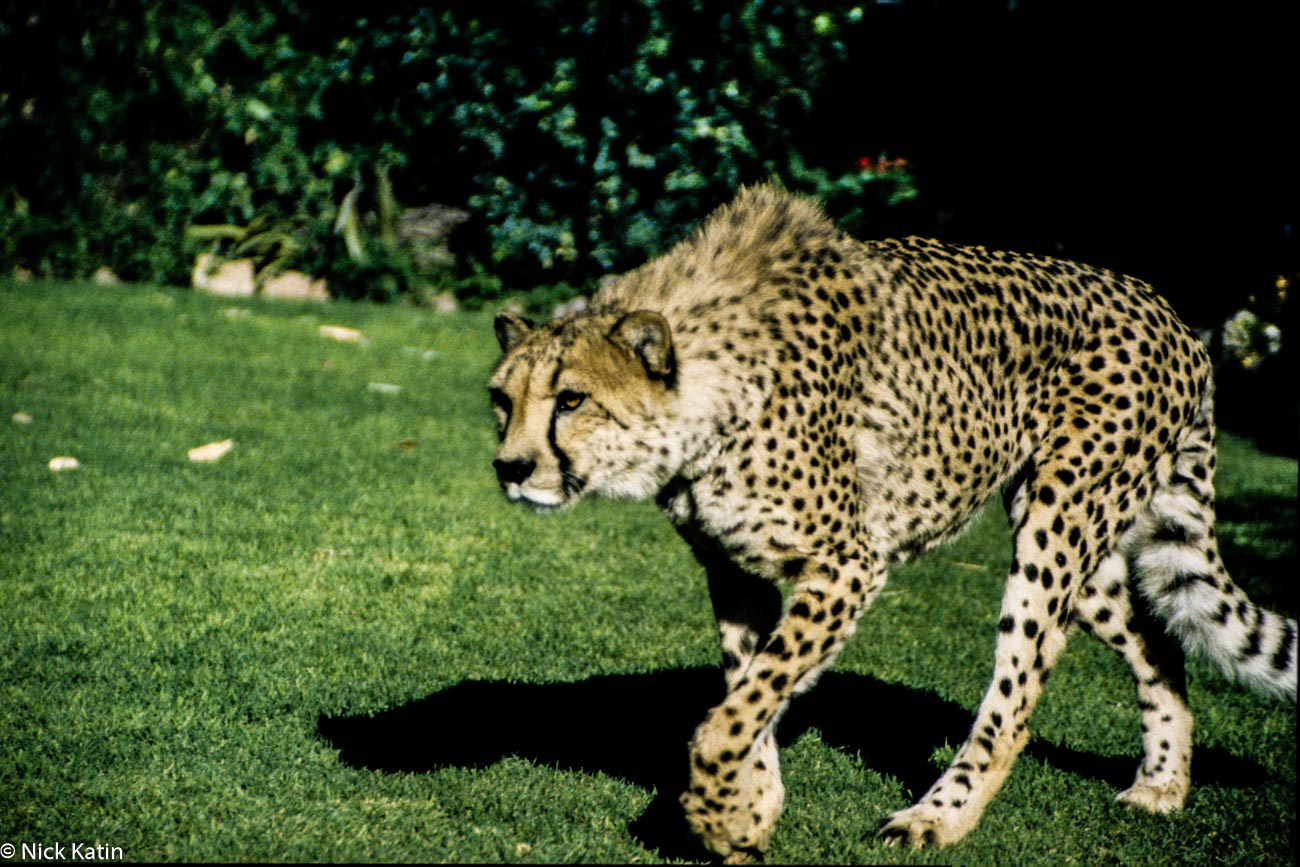 A Cheetah on the lawn at Okinjima camp in Namibia
