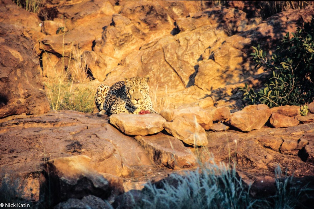 A leopard eats it's prey amongst the rocks in Central Namibia