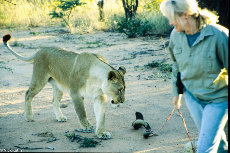 Playing with a female Lion at Okinjima in Namibia.