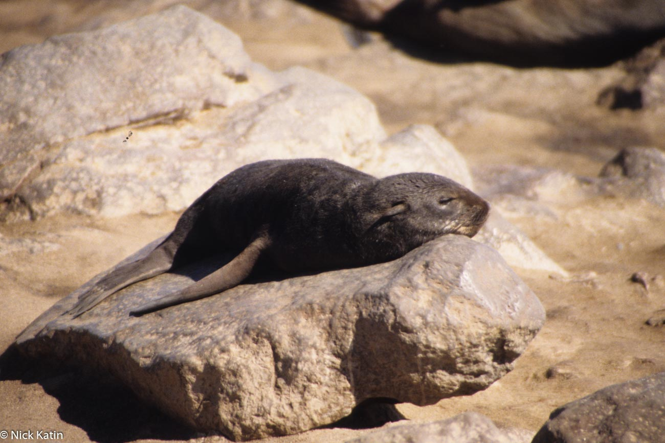 A Cape Fur Seal at Cape Cross Seal colony in Namibia
