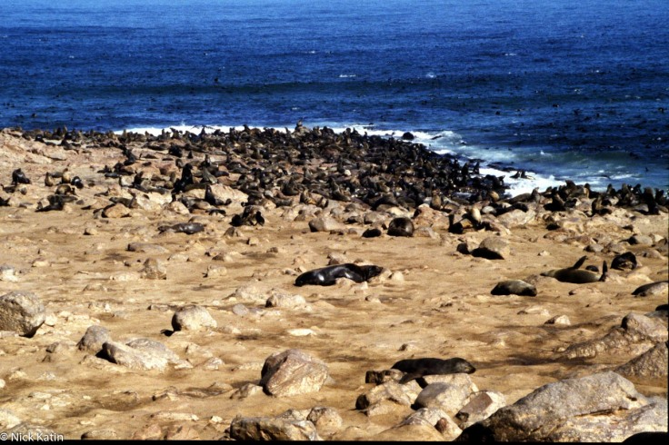 Cape Cross in Namibia is a colony of Cape Fur Seals