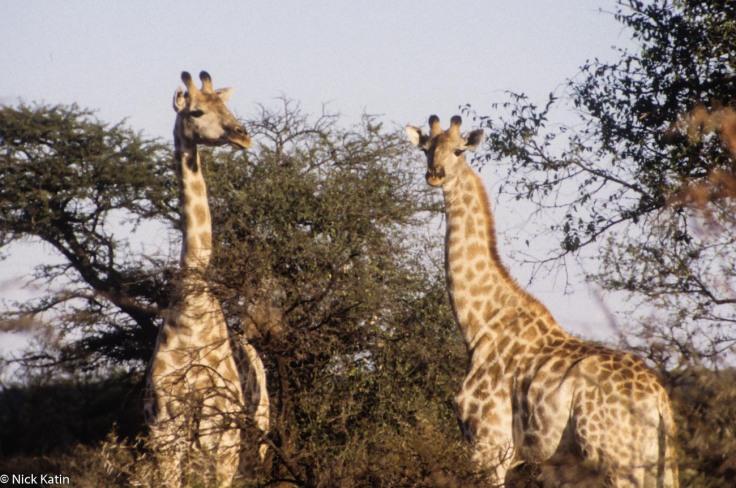 """Giraffe at the """"on foot"""" Tshabalala NP in Zimbabwe"""