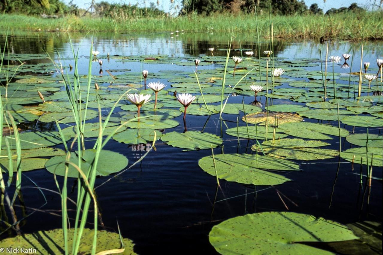 Lilies at on the Okavango Delta In Botswana