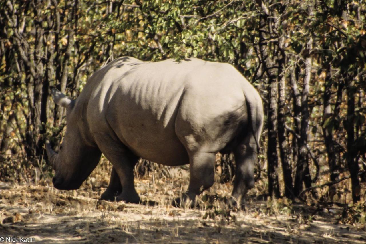 Rhino rolling in the dirt in Matobo NP Zimbabwe