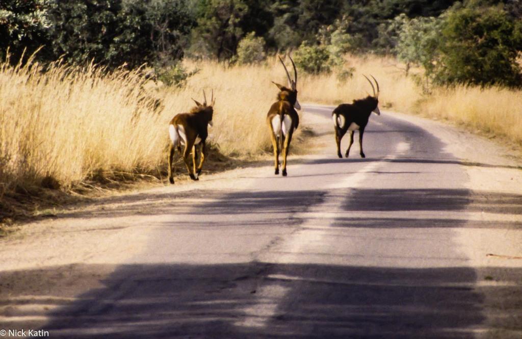 Sable walking on the park road in Matobo NP Zimbabwe
