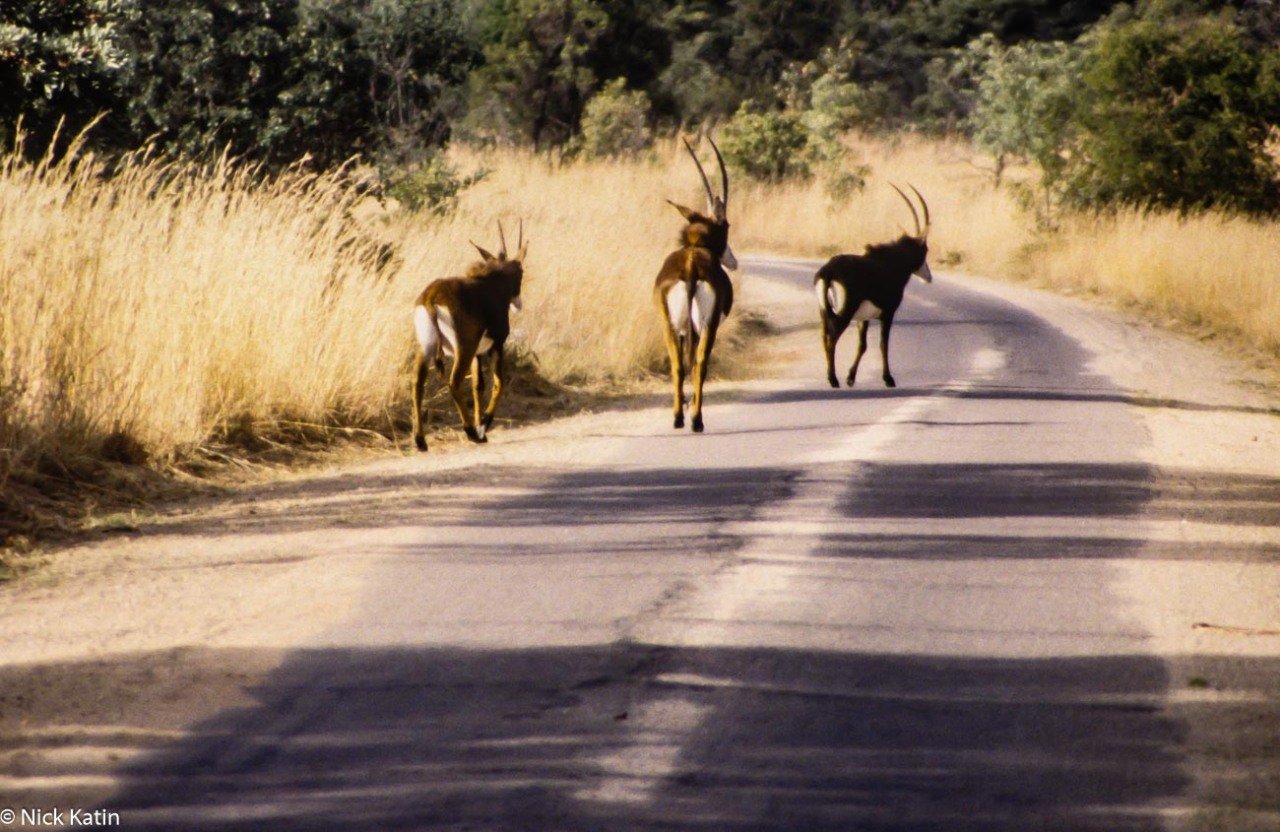 Sable walking on the park road in Matobo NP Zimbabwe