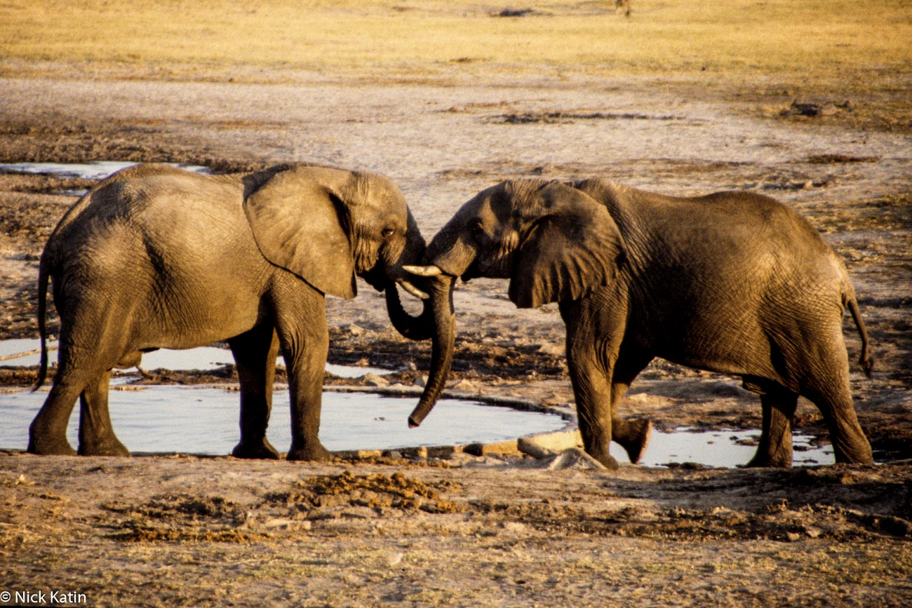 Two elephants mixing it up at a Hwange NP waterhole in Zimbabwe