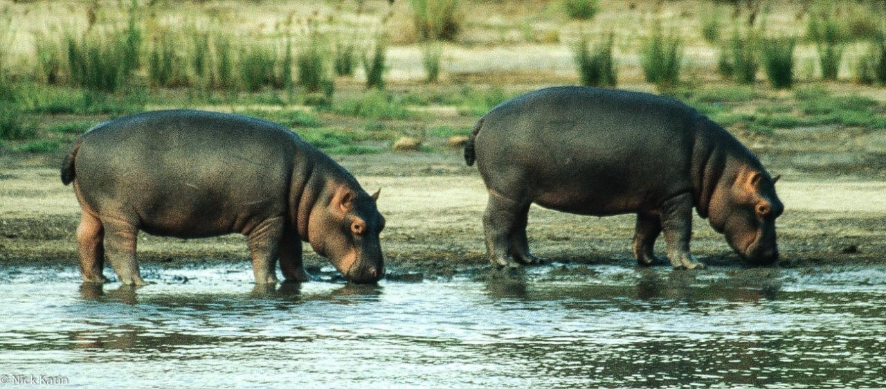 Two hippos grazing by the side of the Zambezi River in Zimbabwe
