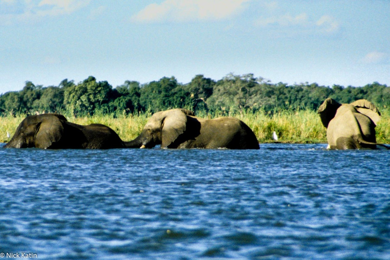 Elephants in the Zambezi River walking across the river in Zimbabwe