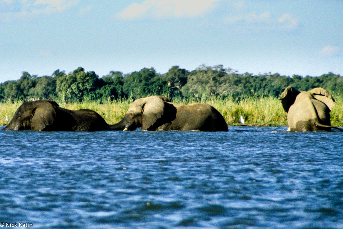 Elephants in the Zambezi River walking across the river in Zimbabwe