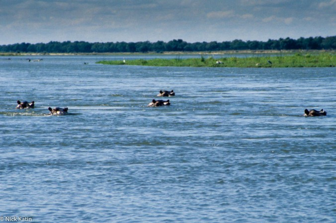 Hippos in the Zambezi River watching canoes in Zimbabwe