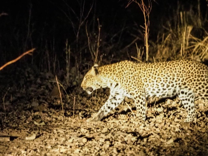 Fuzzy Leopard