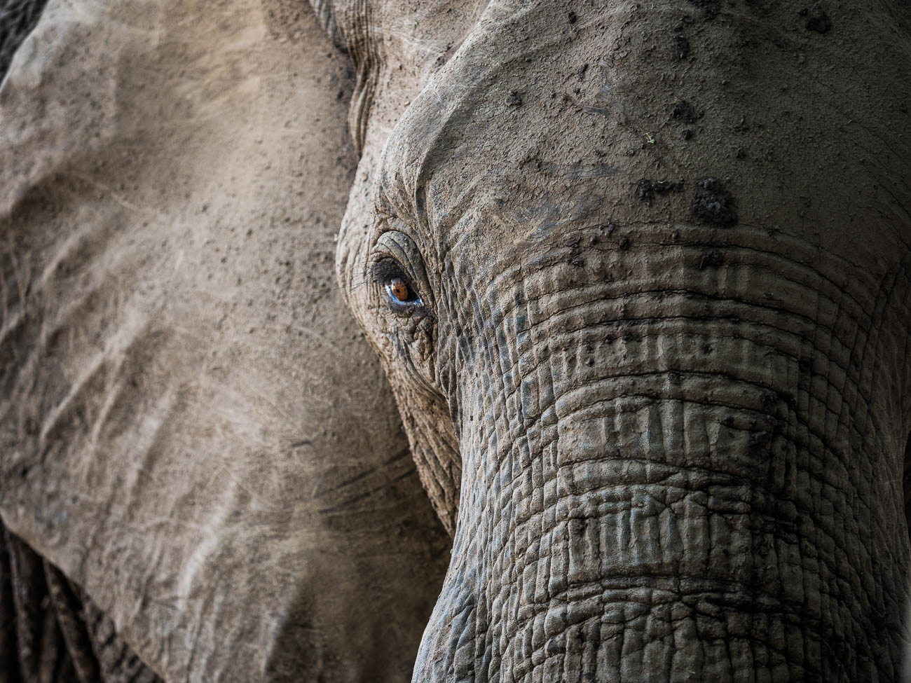 African Elephant in South Luangwa NP