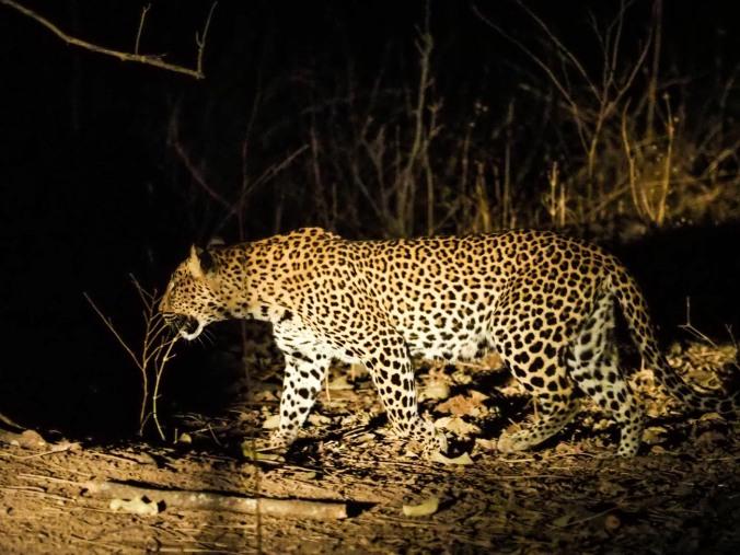 Sharp Leopard