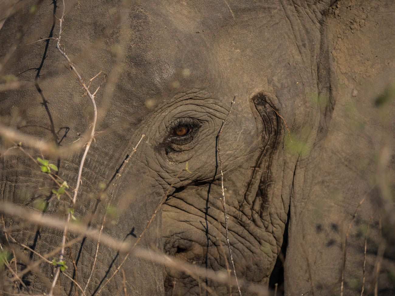 African Elephant in South Luangwa NP,