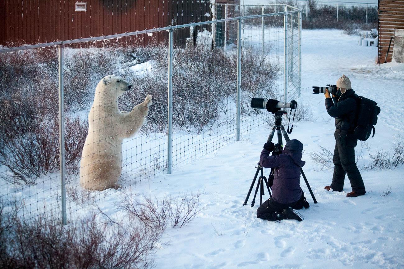 Polar Bear outside Diamond Creek Lodge near Churchill Canada. travel survival guide for photographers