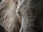 African Elephant at South Luangwa NP Zambia