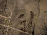 African Elephant in South Luangwa NP, Zambia.