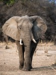 African Elephant in South Luangwa NP Zambia.