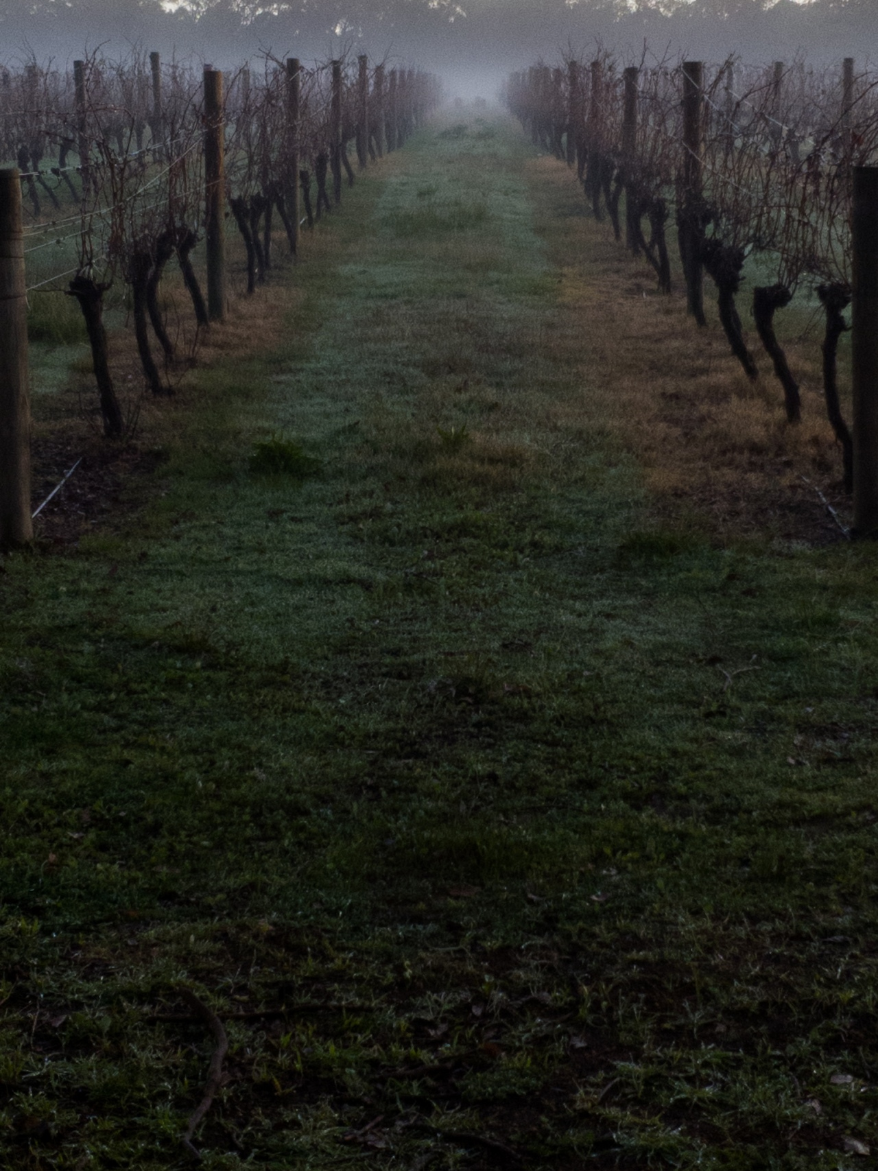 Early morning mist in the Vines