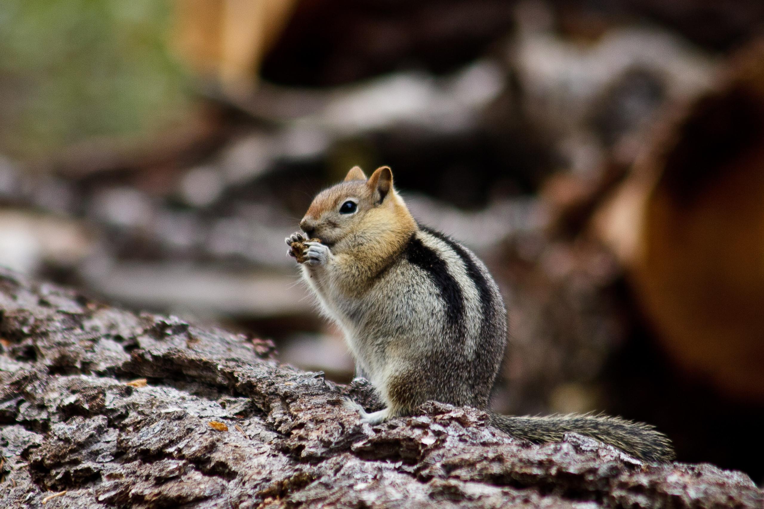 Chipmunk in Yosemite NP California, USA