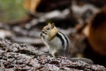 Chipmunk in Yosemite NP California, USA