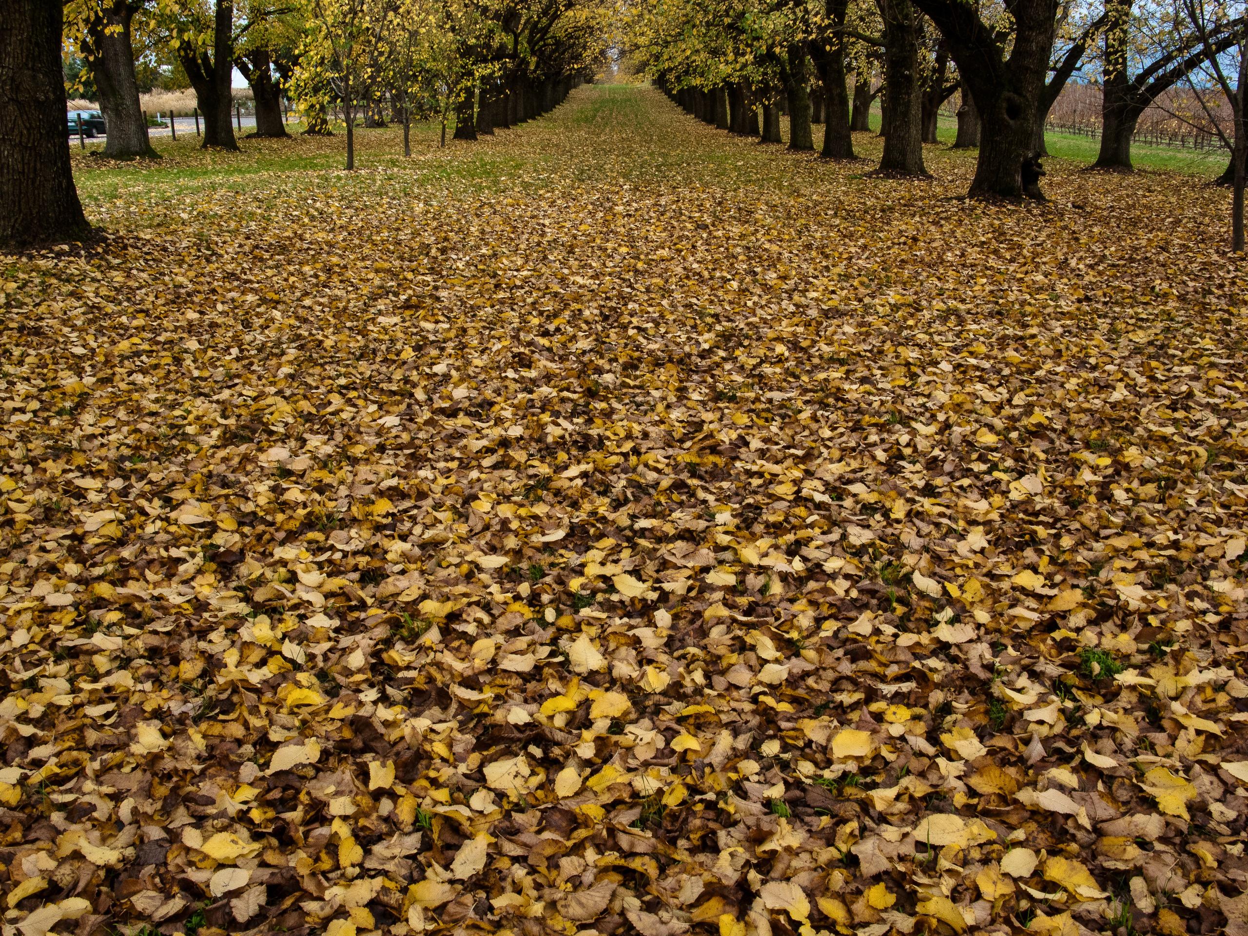 Autumn leaves in Healesville in Victoria's Yarra valley