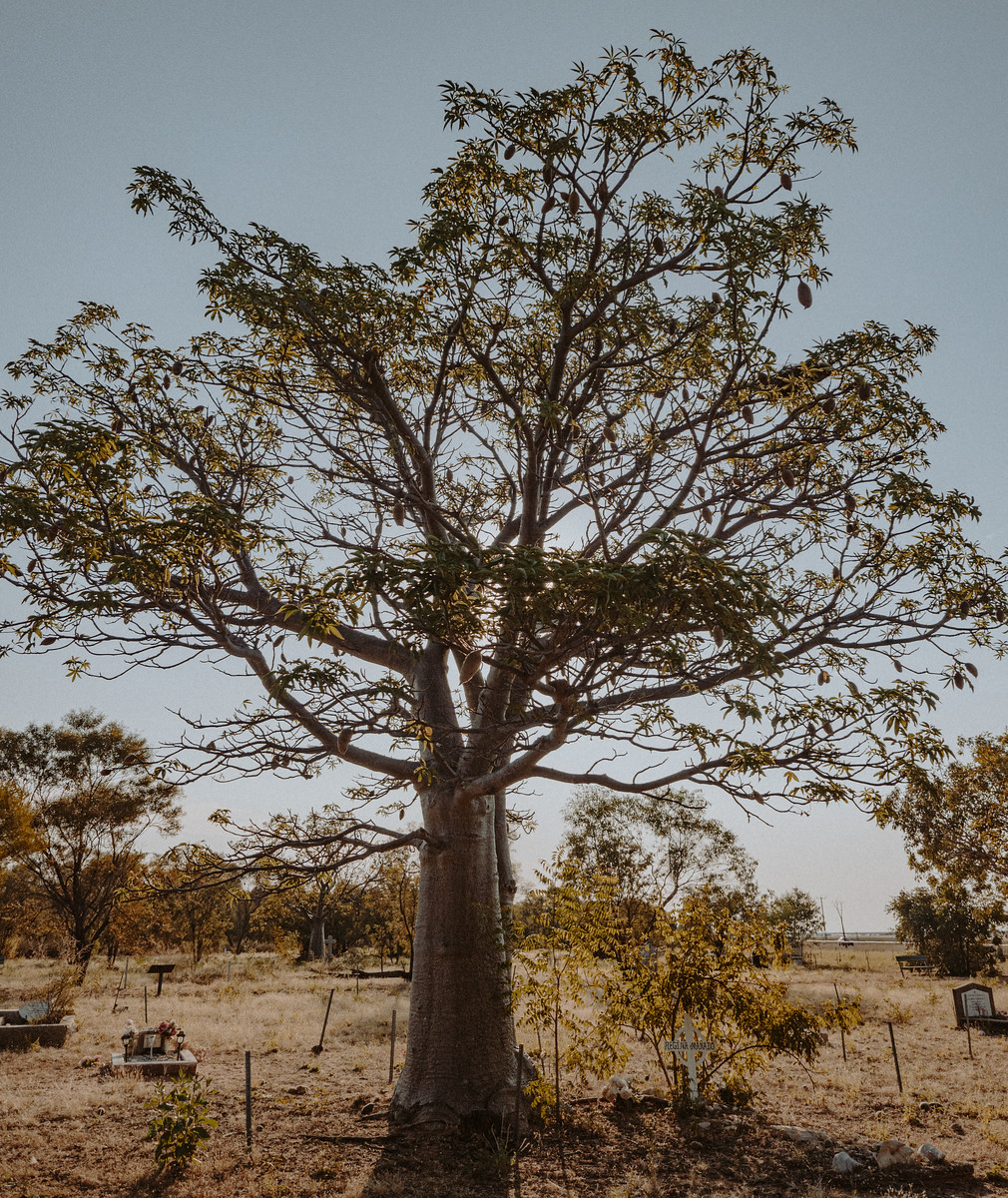 Cemetery Boab Tree